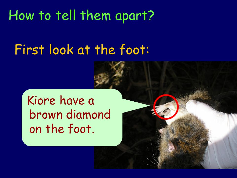 How to tell them apart First look at the foot: Kiore have a brown diamond on the foot.