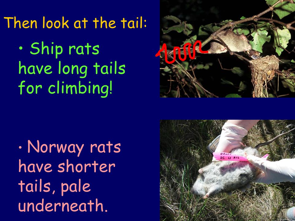 Then look at the tail: Ship rats have long tails for climbing.