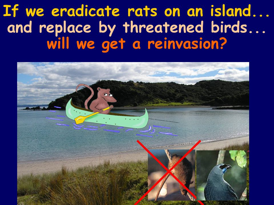 If we eradicate rats on an island... and replace by threatened birds... will we get a reinvasion
