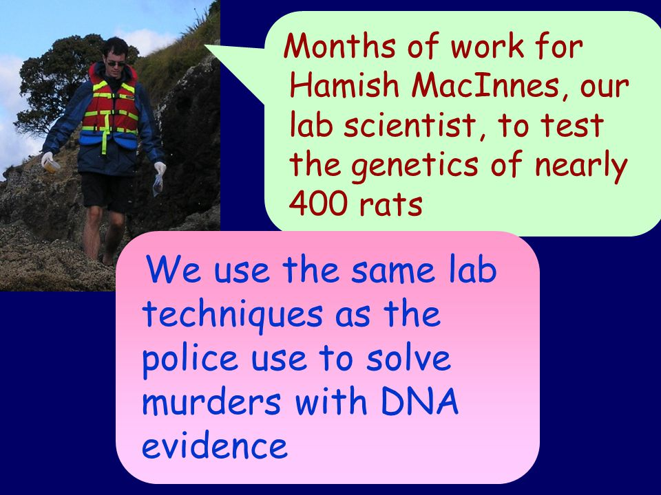 Months of work for Hamish MacInnes, our lab scientist, to test the genetics of nearly 400 rats We use the same lab techniques as the police use to solve murders with DNA evidence