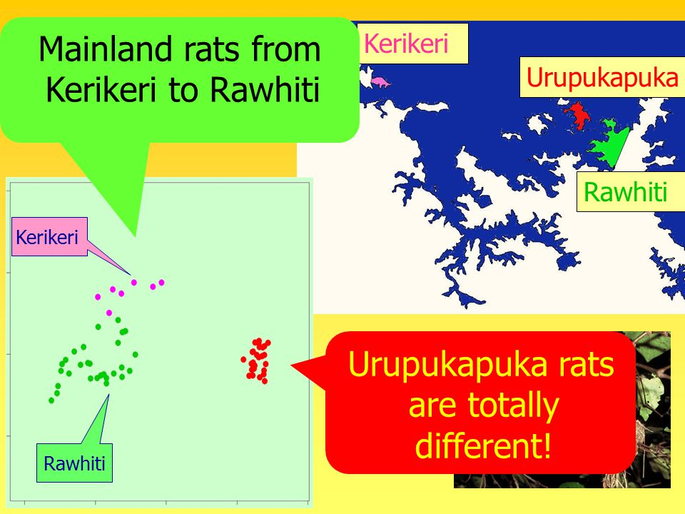 Rawhiti Urupukapuka Kerikeri Ship rat results Urupukapuka rats are totally different.