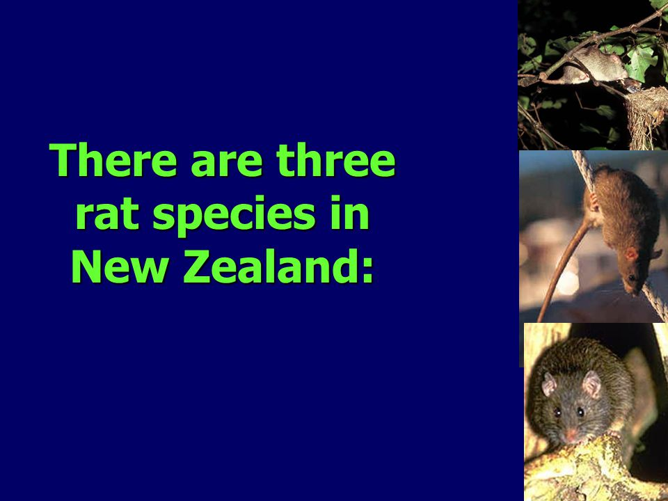 There are three rat species in New Zealand: