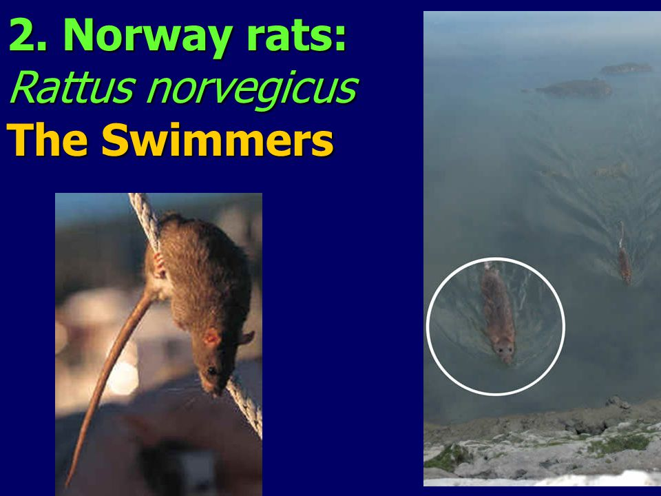 2. Norway rats: Rattus norvegicus The Swimmers