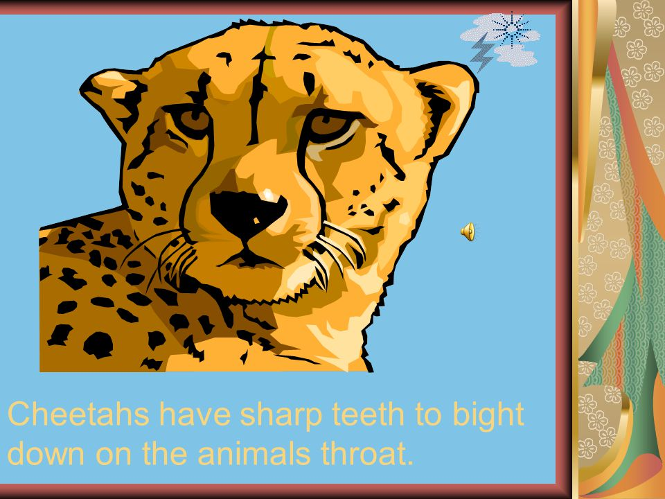 Cheetahs have sharp teeth to bight down on the animals throat.