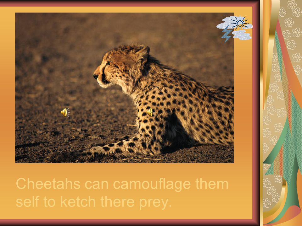 Cheetahs can camouflage them self to ketch there prey.