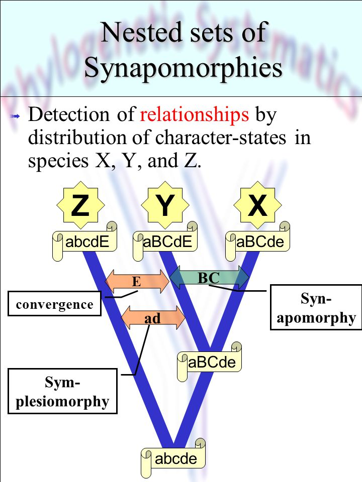 Nested sets of Synapomorphies ß Detection of relationships by distribution of character-states in species X, Y, and Z. abcde aBCde aBCdEabcdE BC Syn-