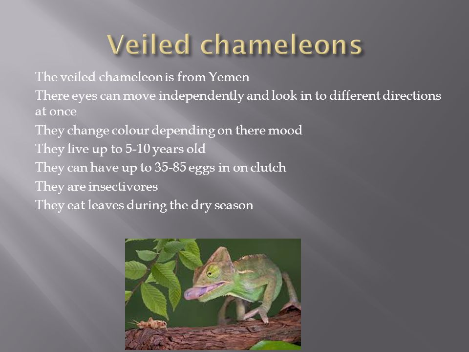 The veiled chameleon is from Yemen There eyes can move independently and look in to different directions at once They change colour depending on there mood They live up to 5-10 years old They can have up to 35-85 eggs in on clutch They are insectivores They eat leaves during the dry season