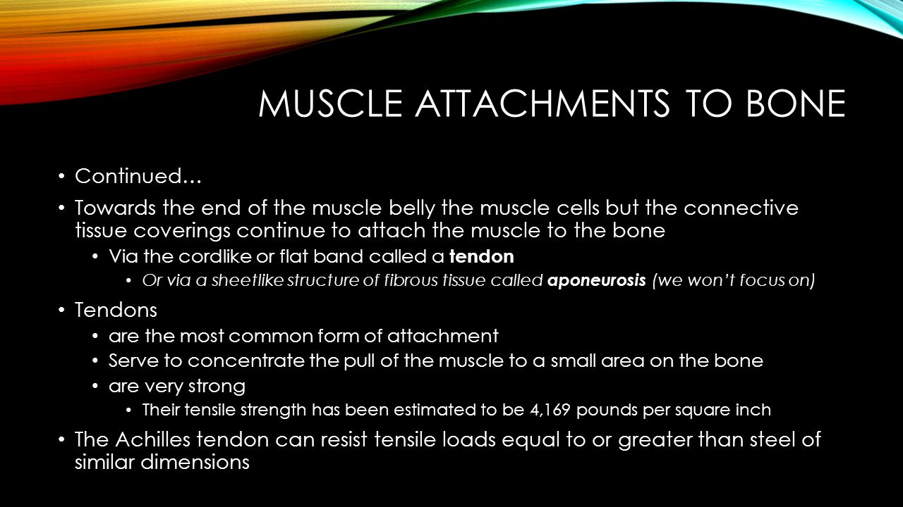 MUSCLE ATTACHMENTS TO BONE Origin & Insertion These connective tissue attachments have been termed Origin & Insertion Origin – generally stays stationary Insertion – moves Have also been called – Proximal Attachment & Distal Attachment Good for describing extremities Read passage 43/44