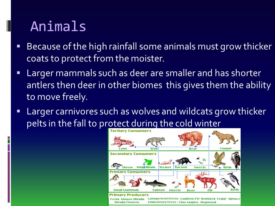 Animals  Because of the high rainfall some animals must grow thicker coats to protect from the moister.  Larger mammals such as deer are smaller and