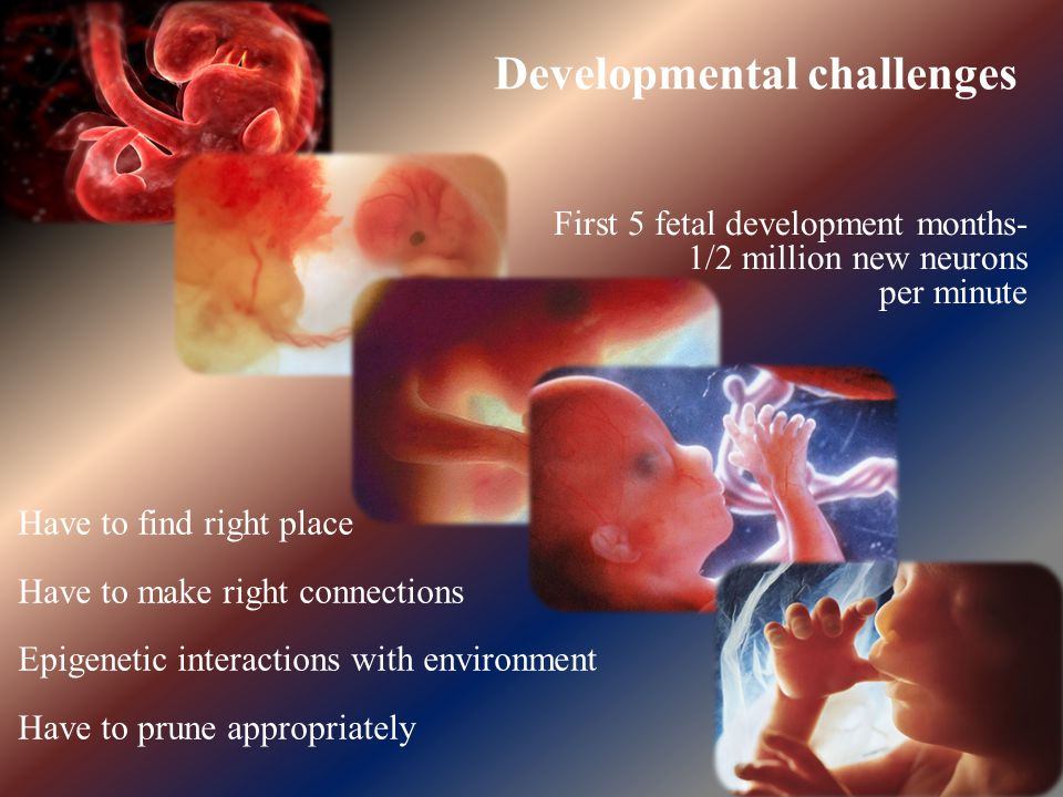 First 5 fetal development months- 1/2 million new neurons per minute Developmental challenges Have to find right place Have to make right connections