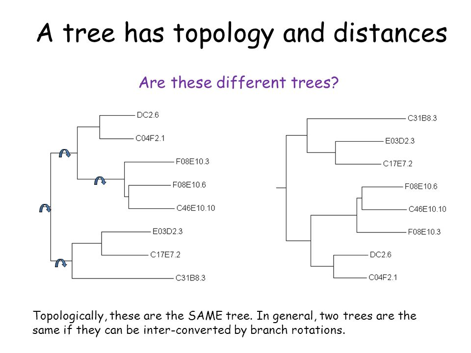 The number of tree topologies grows extremely fast 3 leaves 3 branches 1 internal node 1 topology (3 insertions) 4 leaves 5 branches 2 internal nodes 3 topologies (x3) (5 insertions) 5 leaves 7 branches 3 internal nodes 15 topologies (x5) (7 insertions) In general, an unrooted tree with N leaves has: 2N – 3 branches N – 2 internal nodes ~ O(N!) topologies