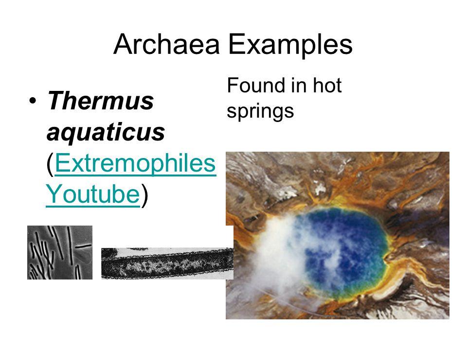 Archaea Examples Thermus aquaticus (Extremophiles Youtube)Extremophiles Youtube Found in hot springs