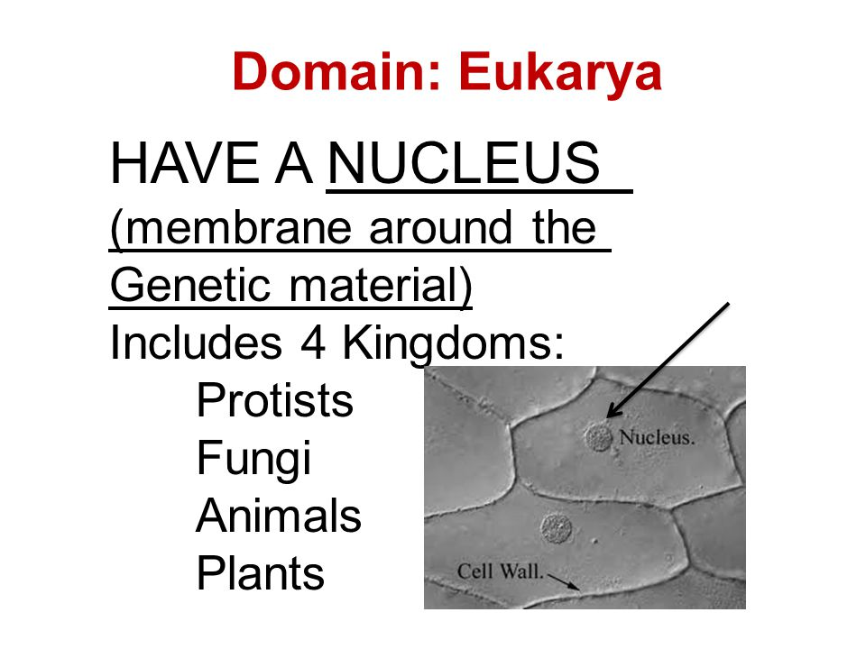 Domain: Eukarya HAVE A NUCLEUS (membrane around the Genetic material) Includes 4 Kingdoms: Protists Fungi Animals Plants