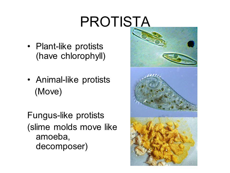 PROTISTA Plant-like protists (have chlorophyll) Animal-like protists (Move) Fungus-like protists (slime molds move like amoeba, decomposer)