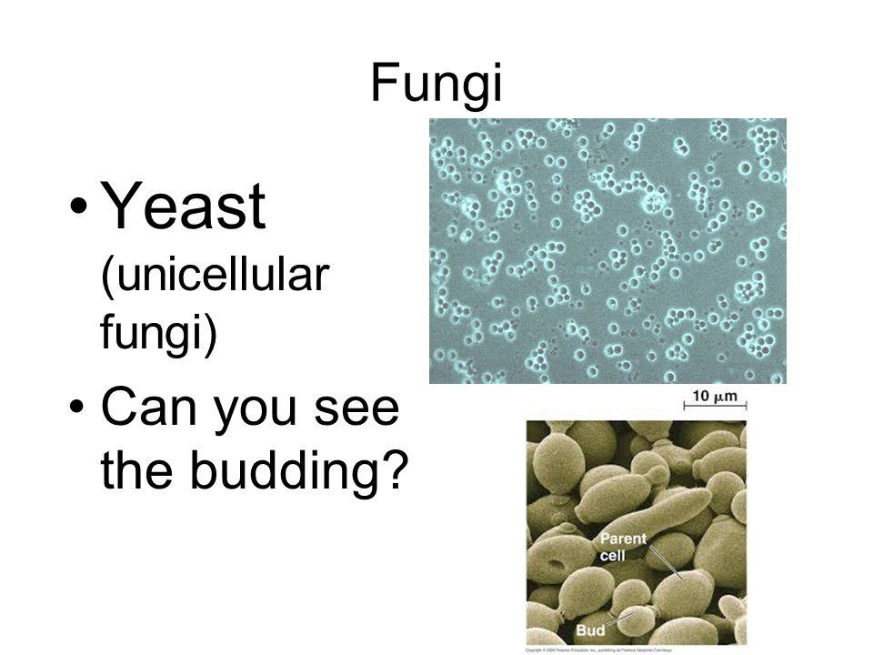 Fungi Yeast (unicellular fungi) Can you see the budding?