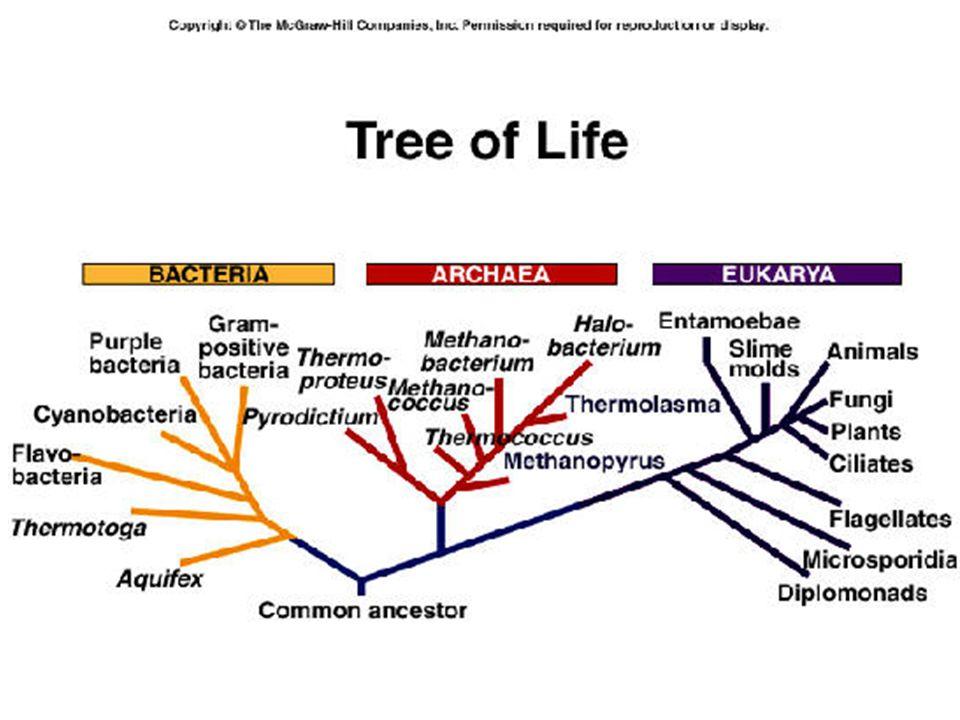 THREE Domains …Kingdoms Eubacteria Archaea Eukarya Prokaryotic (no true nucleus) (true nucleus) (true bacteria) (extreme (protists bacteria) fungi plants animals)