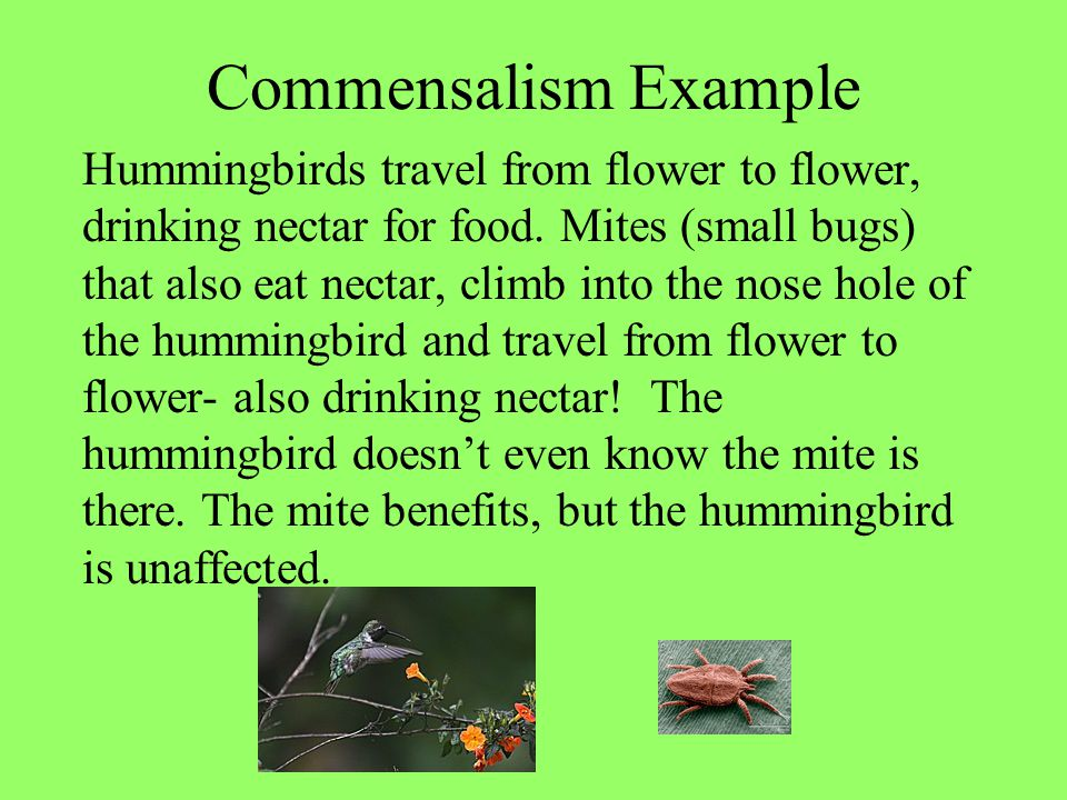 Commensalism Example Hummingbirds travel from flower to flower, drinking nectar for food. Mites (small bugs) that also eat nectar, climb into the nose