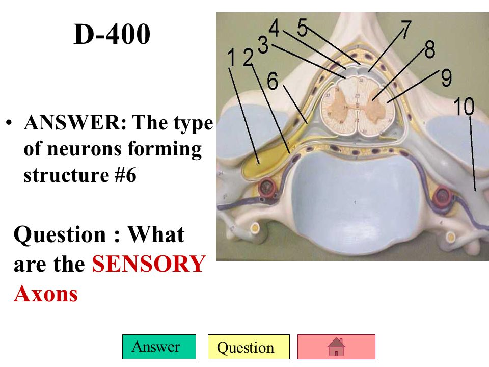 Question Answer D-300 ANSWER: Both the name of the structure shown here and its main function. QUESTION: What is the CORPUS CALLOSUM and to help conne