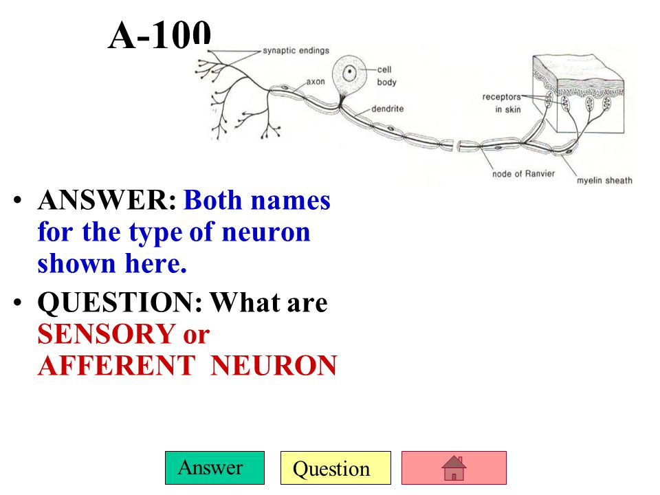 Question Answer E-100 ANSWER: The dorsal root ganglion houses the cell bodies from this type of neuron.