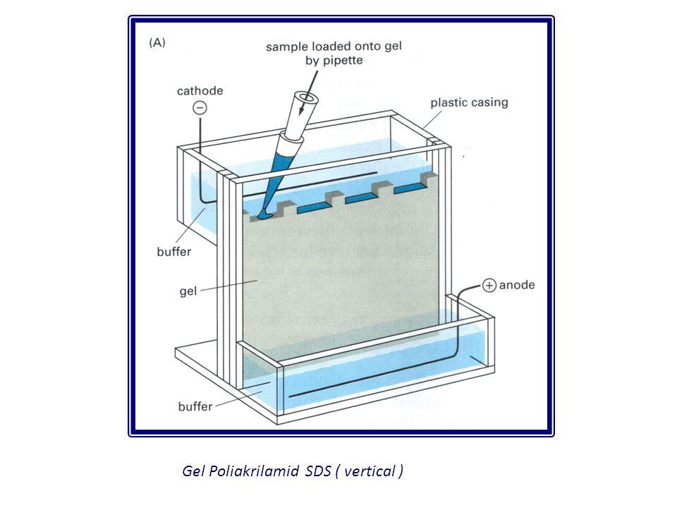 Gel Poliakrilamid SDS ( vertical )