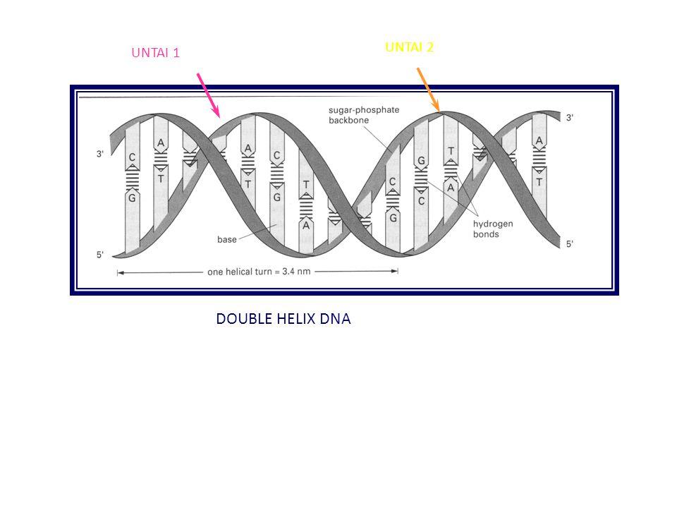 DOUBLE HELIX DNA UNTAI 1 UNTAI 2
