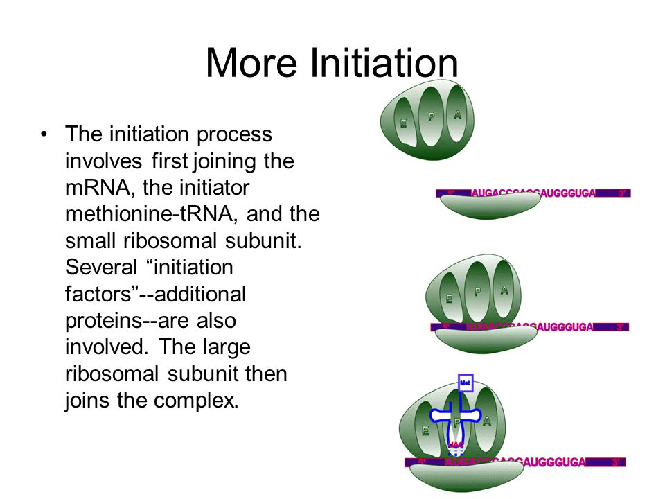 "More Initiation The initiation process involves first joining the mRNA, the initiator methionine-tRNA, and the small ribosomal subunit. Several ""initi"