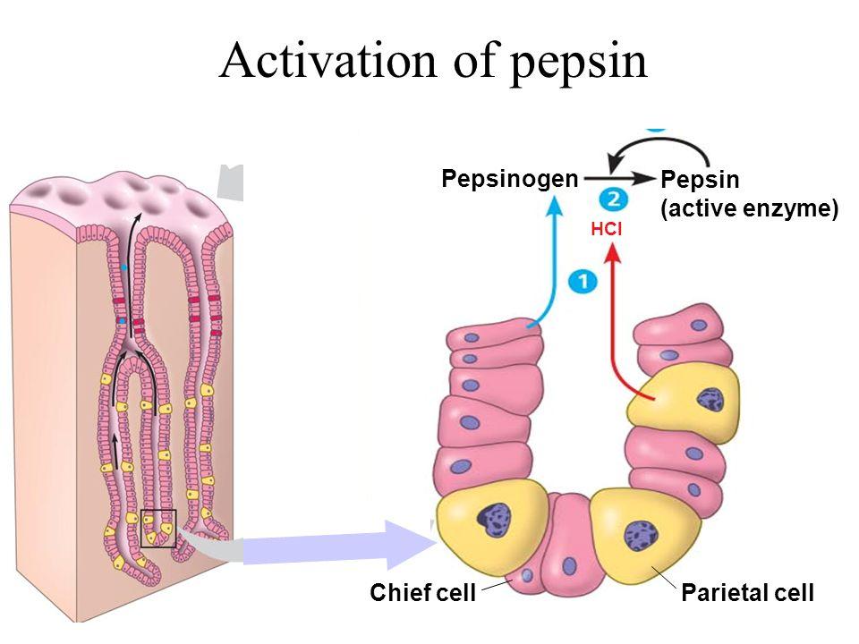 Activation of pepsin Pepsin (active enzyme) Pepsinogen HCl Parietal cellChief cell