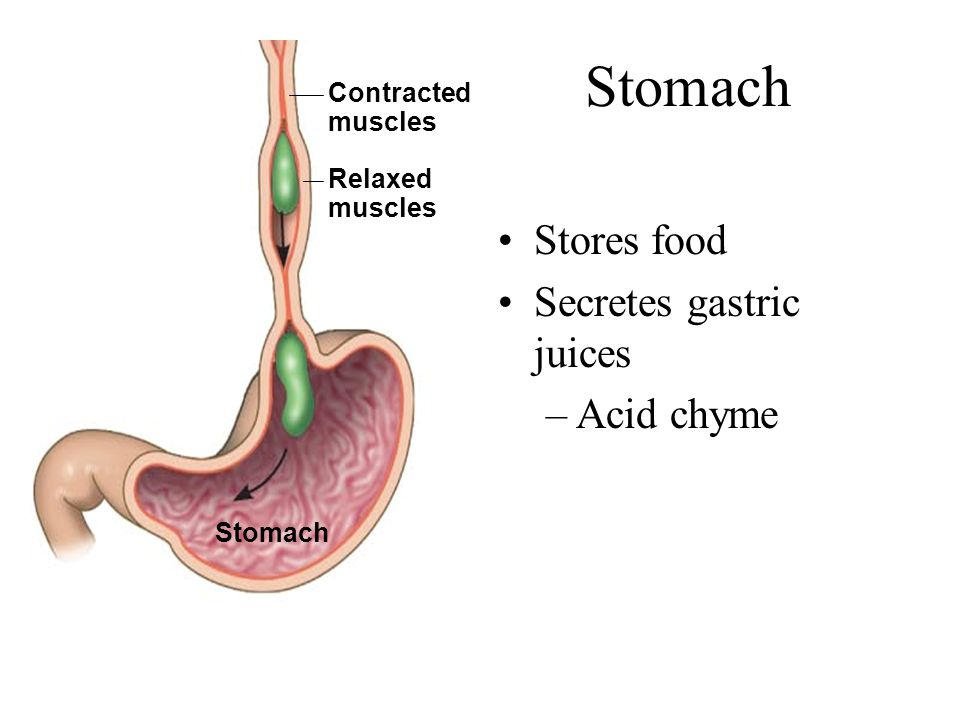 Stomach Stores food Secretes gastric juices –Acid chyme Relaxed muscles Contracted muscles Stomach