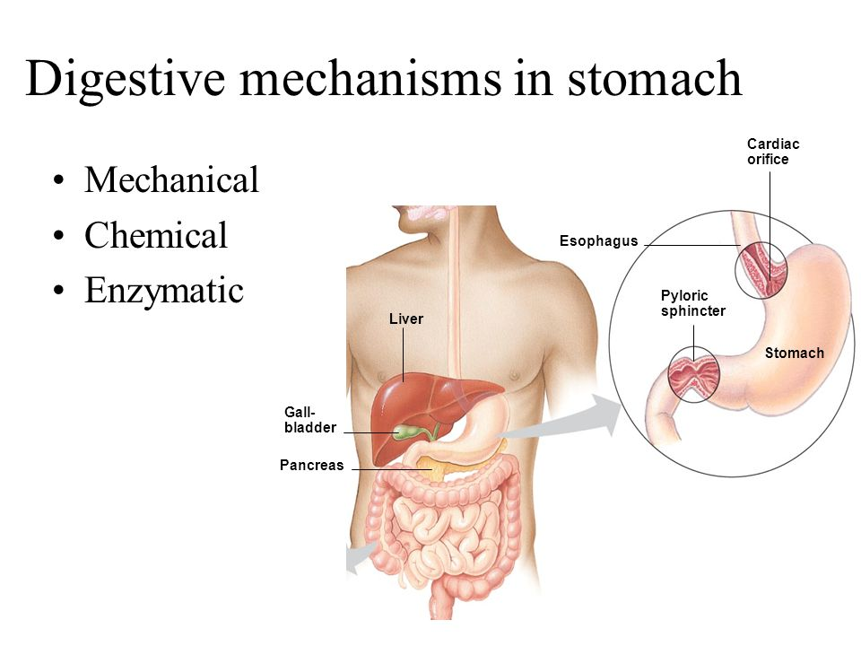 Digestive mechanisms in stomach Mechanical Chemical Enzymatic Esophagus Stomach Pyloric sphincter Cardiac orifice Liver Gall- bladder Pancreas