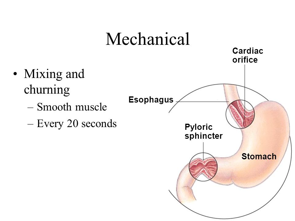Mechanical Mixing and churning –Smooth muscle –Every 20 seconds Esophagus Stomach Pyloric sphincter Cardiac orifice