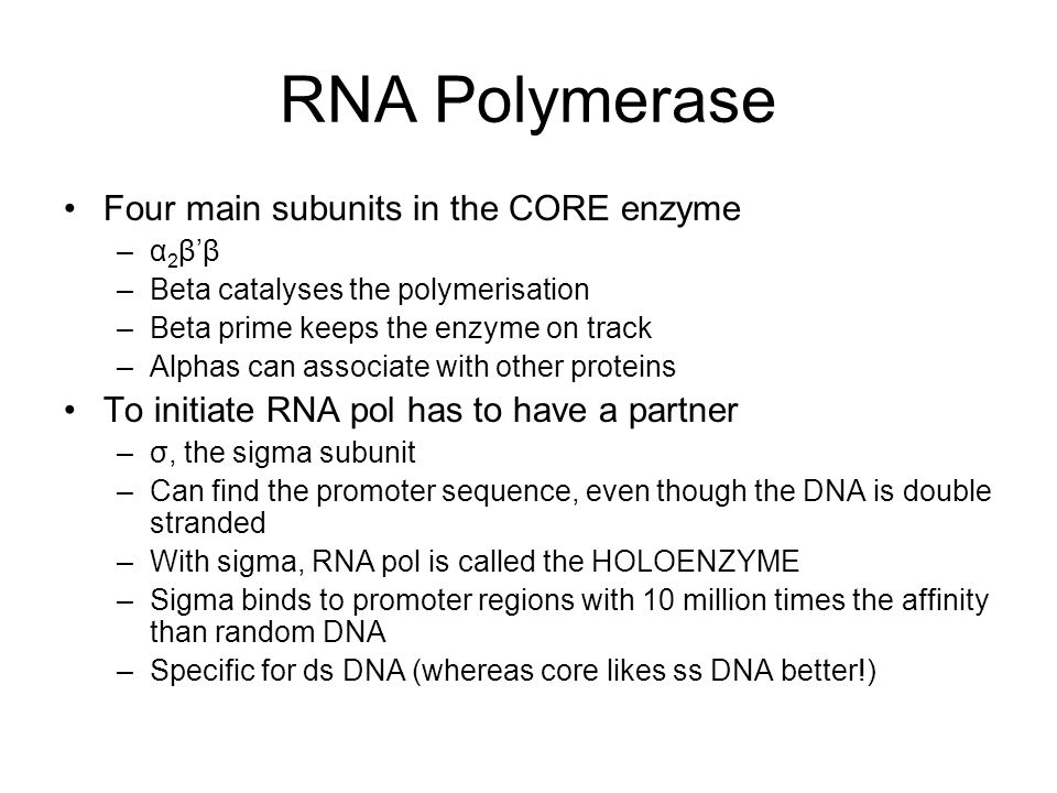 RNA Polymerase Four main subunits in the CORE enzyme –α 2 β'β –Beta catalyses the polymerisation –Beta prime keeps the enzyme on track –Alphas can associate with other proteins To initiate RNA pol has to have a partner –σ, the sigma subunit –Can find the promoter sequence, even though the DNA is double stranded –With sigma, RNA pol is called the HOLOENZYME –Sigma binds to promoter regions with 10 million times the affinity than random DNA –Specific for ds DNA (whereas core likes ss DNA better!)