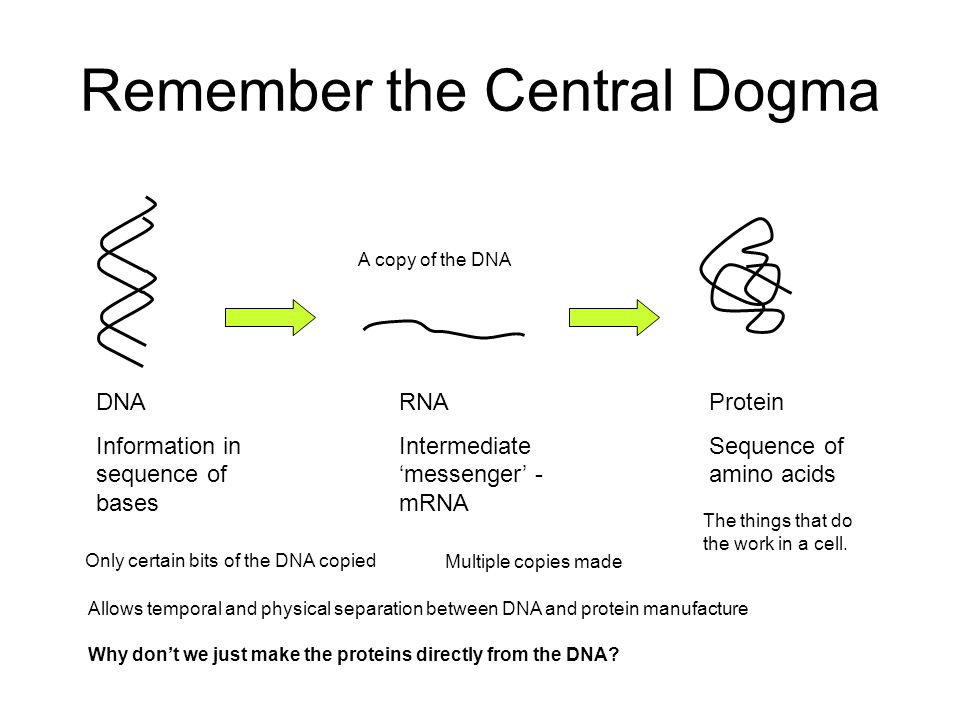 Remember the Central Dogma DNA Information in sequence of bases Protein Sequence of amino acids A copy of the DNA RNA Intermediate 'messenger' - mRNA Only certain bits of the DNA copied Allows temporal and physical separation between DNA and protein manufacture Multiple copies made Why don't we just make the proteins directly from the DNA.