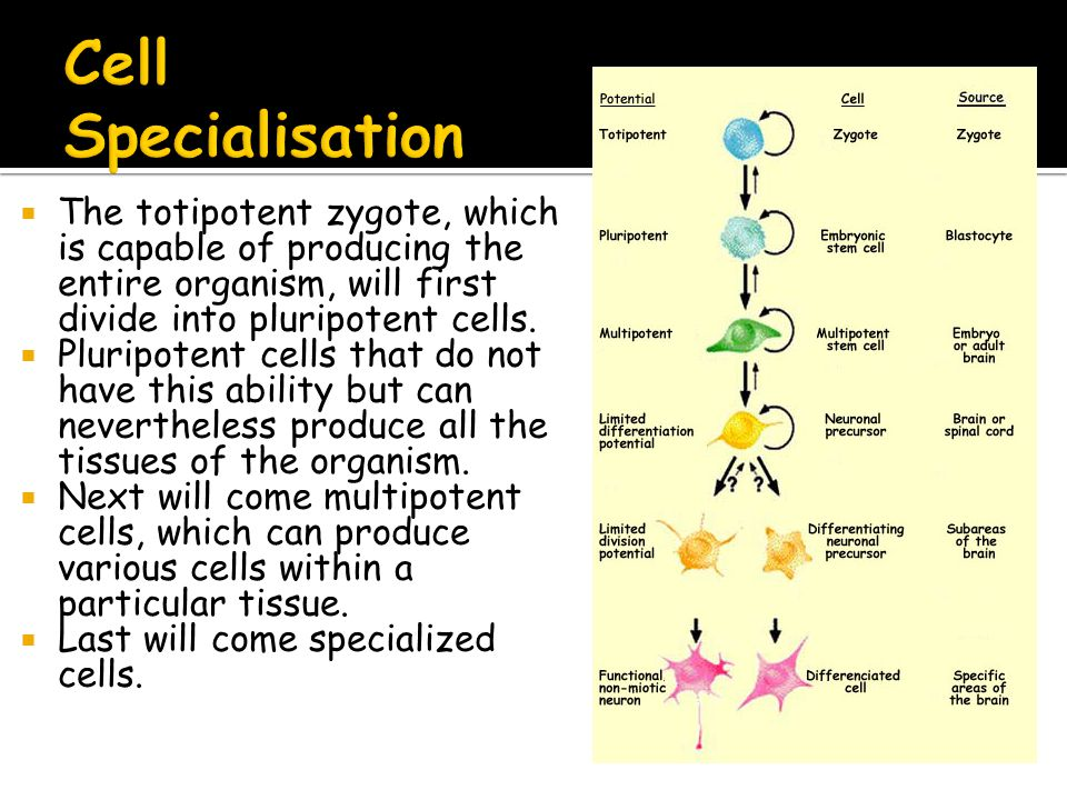  During the process of specialisation only some genes are switched on.