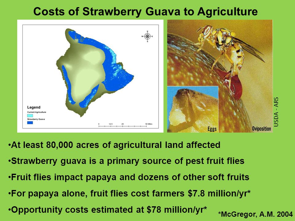 Costs of Strawberry Guava to Agriculture At least 80,000 acres of agricultural land affected Strawberry guava is a primary source of pest fruit flies Fruit flies impact papaya and dozens of other soft fruits For papaya alone, fruit flies cost farmers $7.8 million/yr* Opportunity costs estimated at $78 million/yr* *McGregor, A.M.