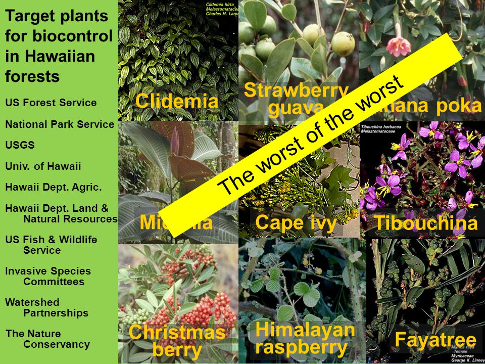 Target plants for biocontrol in Hawaiian forests US Forest Service Learningto just say no not right now maybe later when resources allow Clidemia Miconia Christmas berry Cape ivy Himalayan raspberry Banana poka Tibouchina Fayatree Strawberry guava National Park Service USGS Univ.