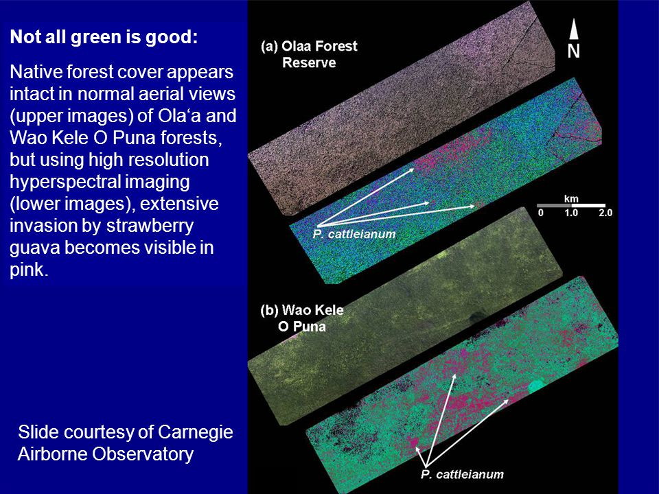 Slide courtesy of Carnegie Airborne Observatory Not all green is good: Native forest cover appears intact in normal aerial views (upper images) of Ola'a and Wao Kele O Puna forests, but using high resolution hyperspectral imaging (lower images), extensive invasion by strawberry guava becomes visible in pink.