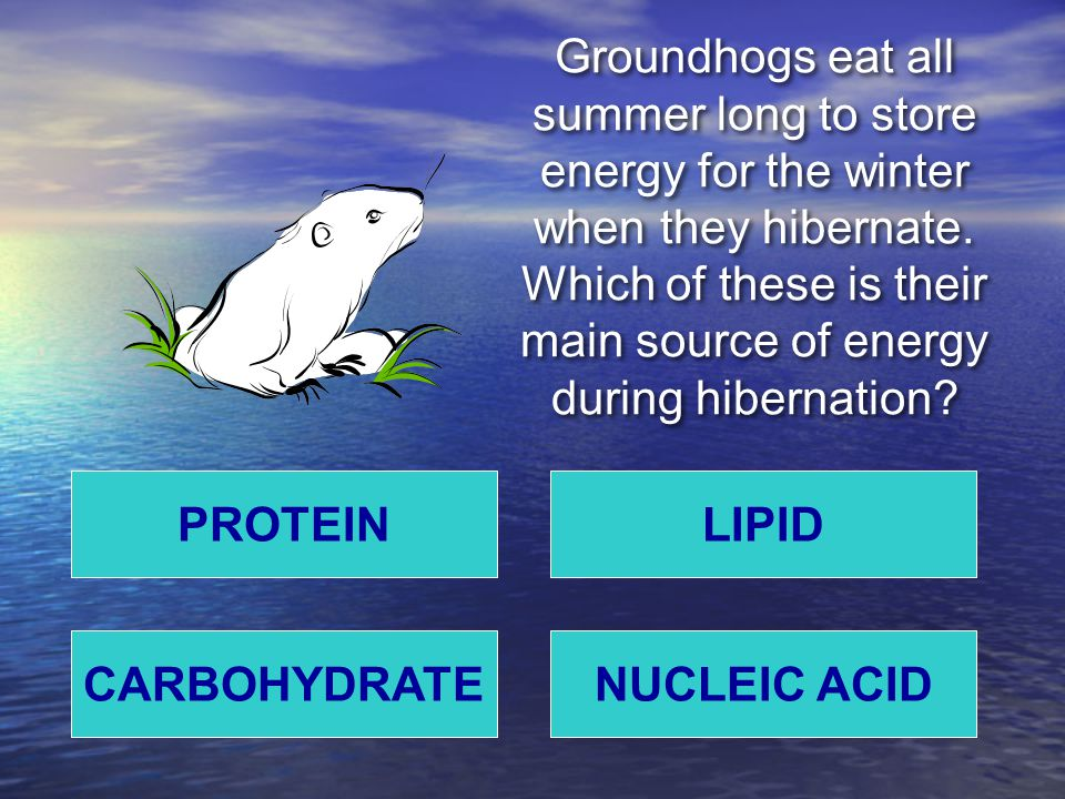 Groundhogs eat all summer long to store energy for the winter when they hibernate. Which of these is their main source of energy during hibernation? P