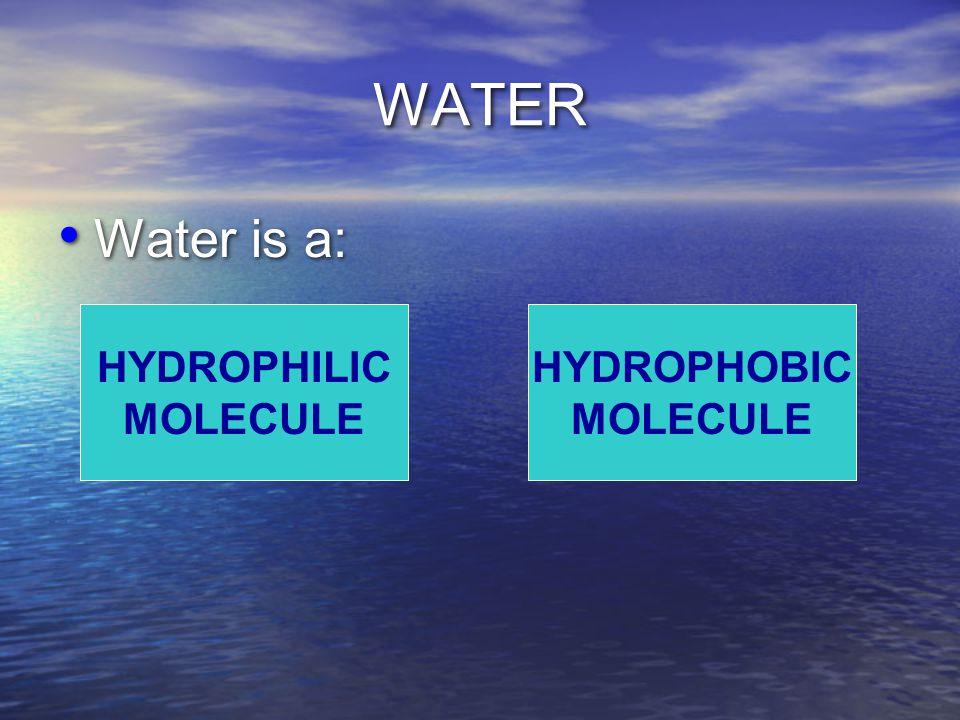 WATER Water is a: HYDROPHILIC MOLECULE HYDROPHOBIC MOLECULE