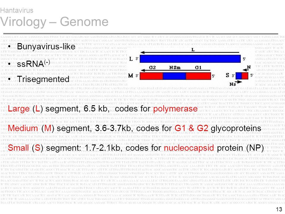 13 Hantavirus Virology – Genome Bunyavirus-like ssRNA (-) Trisegmented Large (L) segment, 6.5 kb, codes for polymerase Medium (M) segment, 3.6-3.7kb, codes for G1 & G2 glycoproteins Small (S) segment: 1.7-2.1kb, codes for nucleocapsid protein (NP)