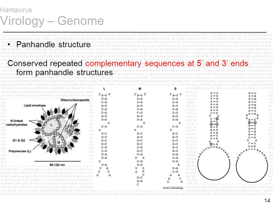 14 Hantavirus Virology – Genome Panhandle structure Conserved repeated complementary sequences at 5' and 3' ends form panhandle structures
