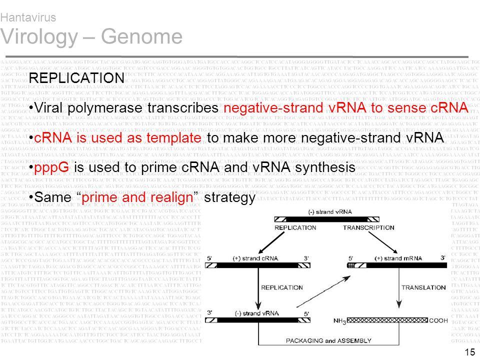 15 Hantavirus Virology – Genome REPLICATION Viral polymerase transcribes negative-strand vRNA to sense cRNA cRNA is used as template to make more negative-strand vRNA pppG is used to prime cRNA and vRNA synthesis Same prime and realign strategy