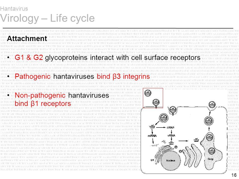 16 Hantavirus Virology – Life cycle Attachment G1 & G2 glycoproteins interact with cell surface receptors Pathogenic hantaviruses bind β3 integrins Non-pathogenic hantaviruses bind β1 receptors