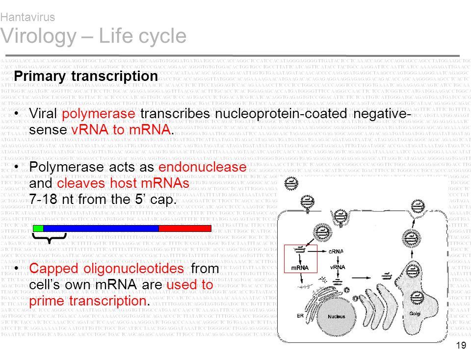 19 Hantavirus Virology – Life cycle Primary transcription Viral polymerase transcribes nucleoprotein-coated negative- sense vRNA to mRNA.
