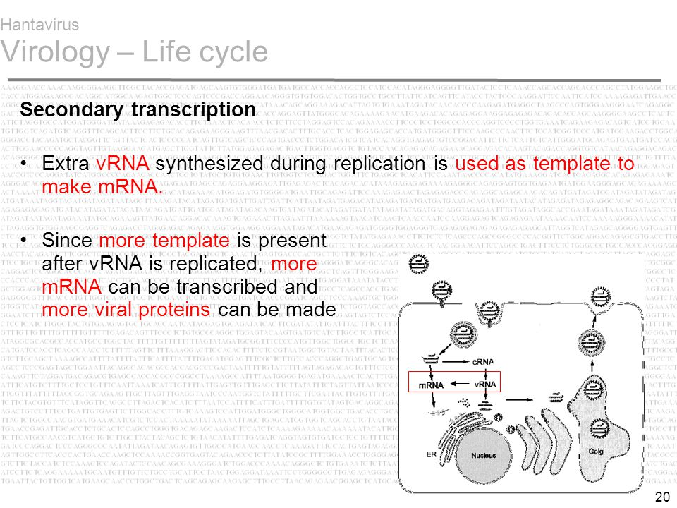 20 Hantavirus Virology – Life cycle Secondary transcription Extra vRNA synthesized during replication is used as template to make mRNA.