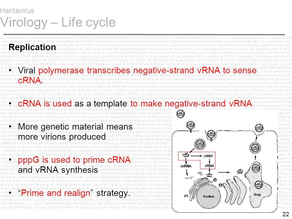 22 Hantavirus Virology – Life cycle Replication Viral polymerase transcribes negative-strand vRNA to sense cRNA.