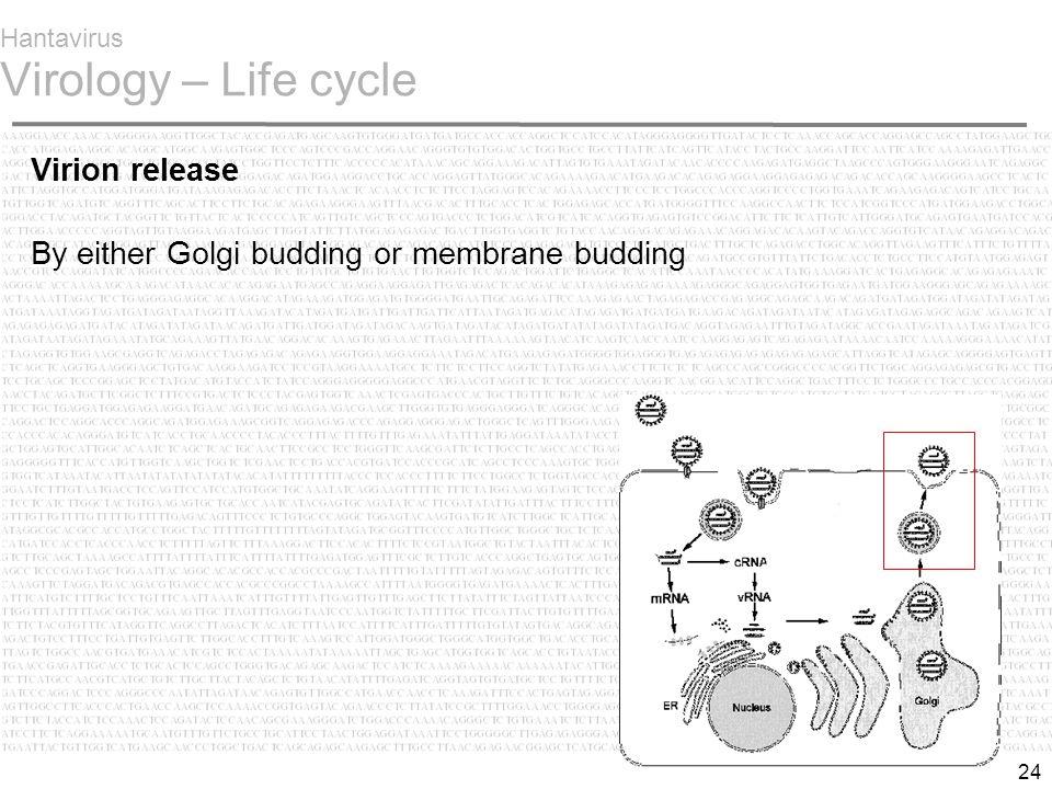 24 Hantavirus Virology – Life cycle Virion release By either Golgi budding or membrane budding