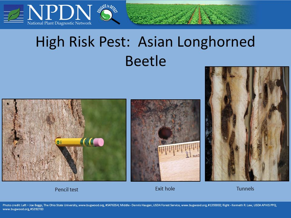 High Risk Pest: Asian Longhorned Beetle Photo credit: Left – Joe Boggs, The Ohio State University,   # ; Middle - Dennis Haugen, USDA Forest Service,   # ; Right - Kenneth R.
