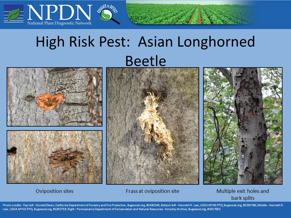 High Risk Pest: Asian Longhorned Beetle Photo credits - Top left - Donald Owen, California Department of Forestry and Fire Protection, Bugwood.org, #5430144; Bottom left - Kenneth R.