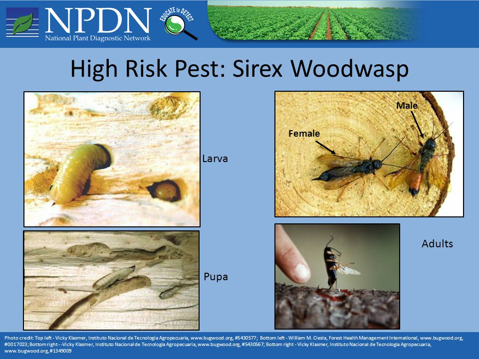 High Risk Pest: Sirex Woodwasp Photo credit: Top left - Vicky Klasmer, Instituto Nacional de Tecnologia Agropecuaria, www.bugwood.org, #5430577; Bottom left - William M.