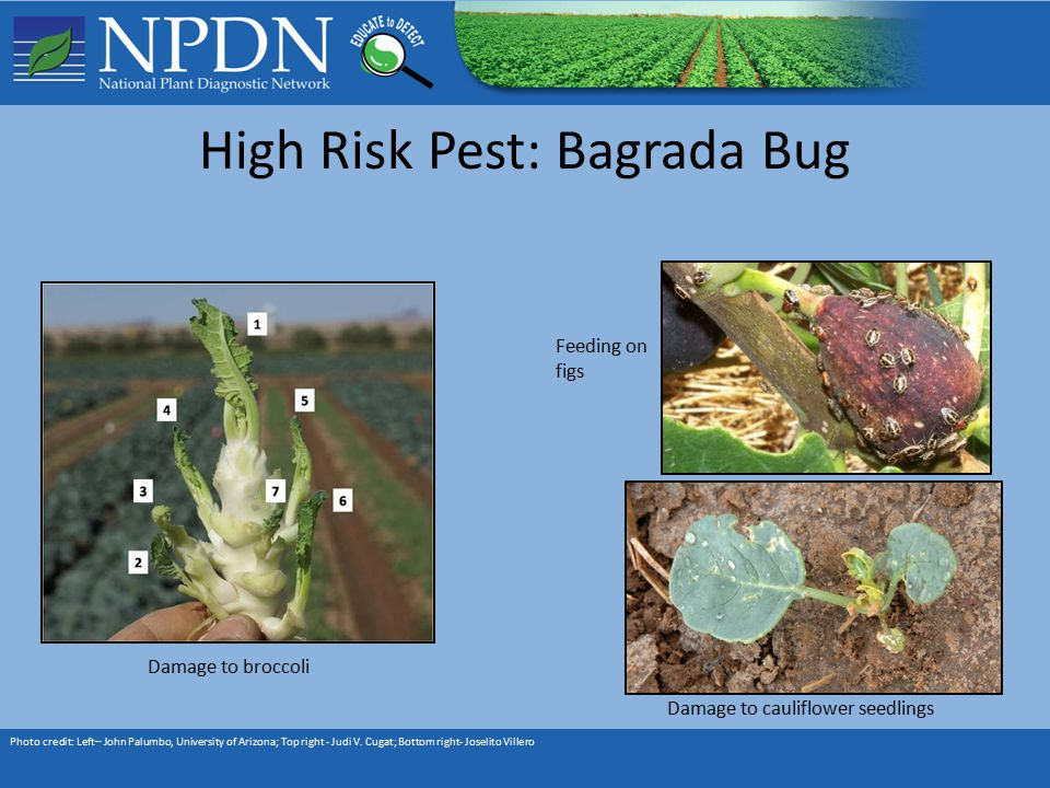 High Risk Pest: Bagrada Bug Photo credit: Left– John Palumbo, University of Arizona; Top right - Judi V.